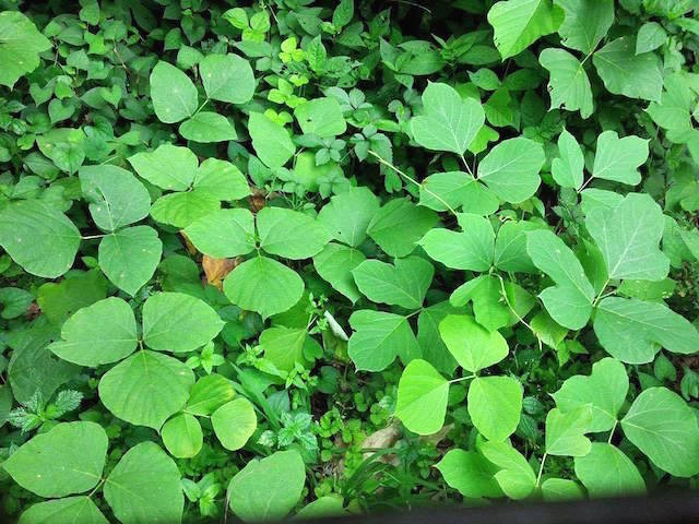 つりごっこ クズの葉の写真